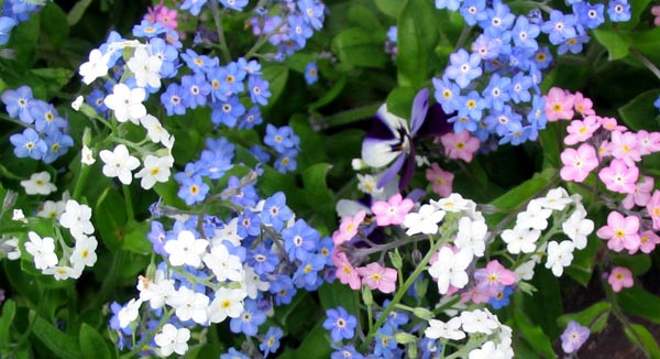 forget-me-not-flowers
